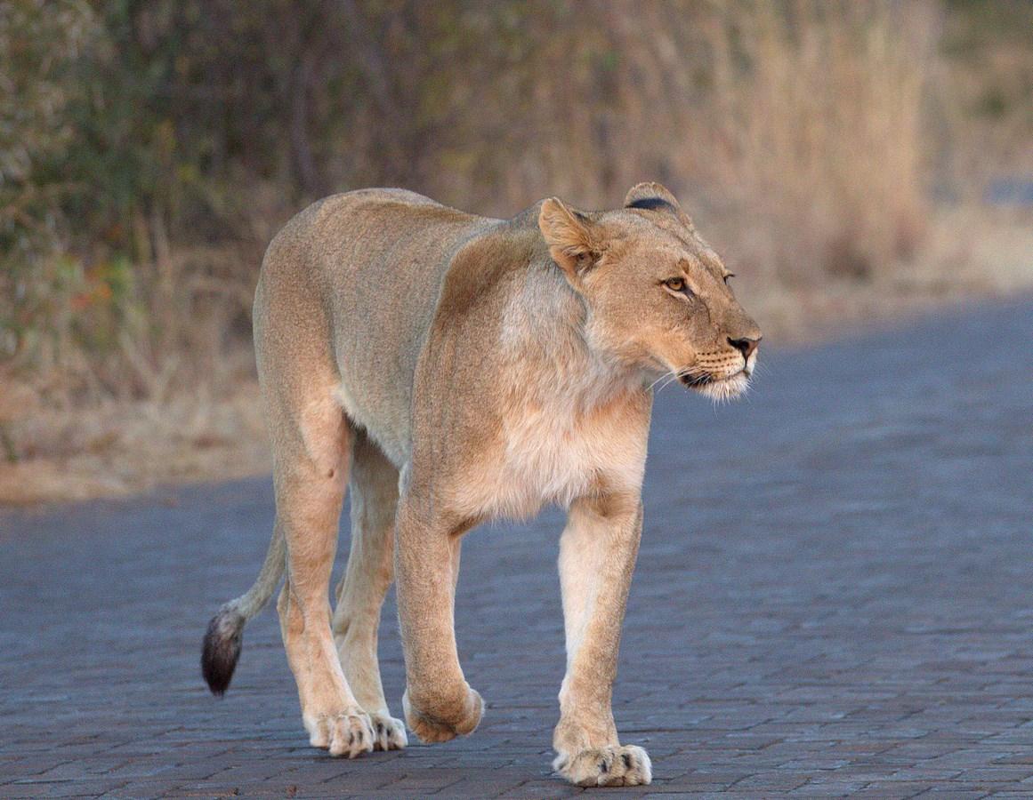 lioness (Copy).jpg