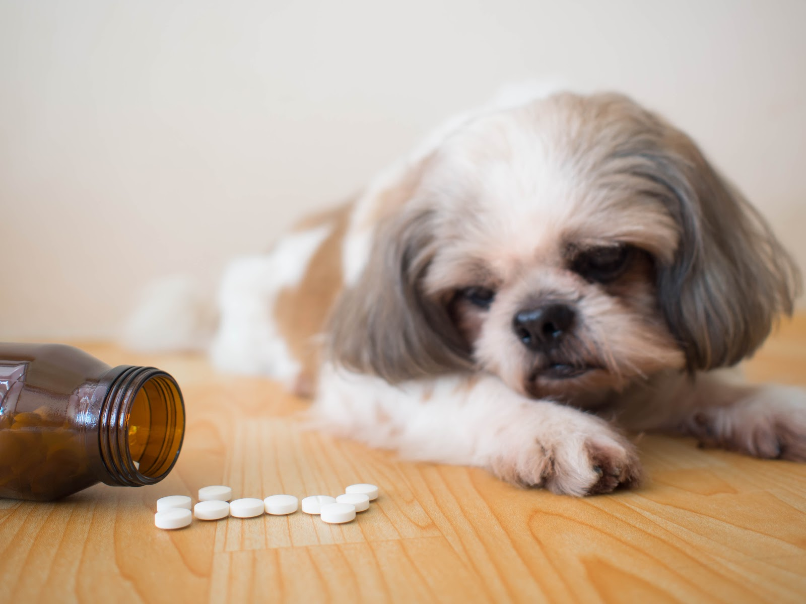 A dog looking at an open pill bottle trazodone