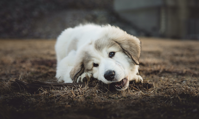 puppy chewing on stick
