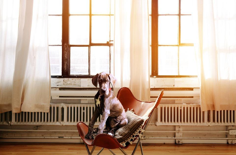 Dog, Chair, Boss, Executive Chair