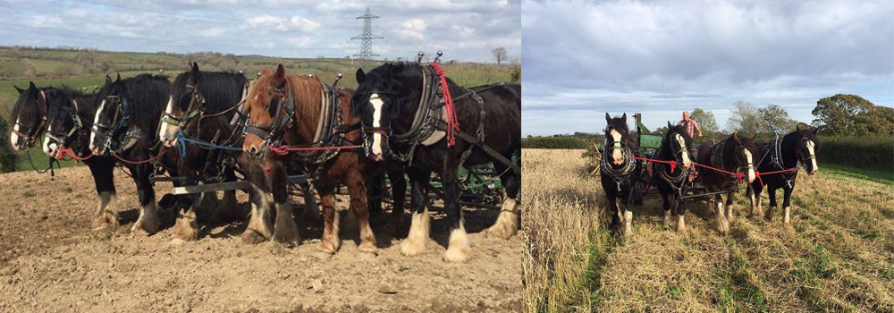Fiona and Jonathons heavy horses hard at work on their farm at Higher Biddacott.