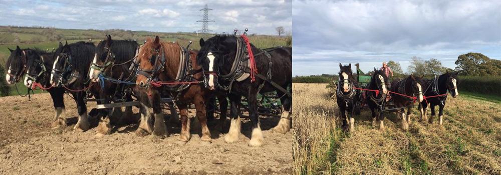 Fiona and Jonathons heavy horses hard at work on their farm at Higher Biddacott.