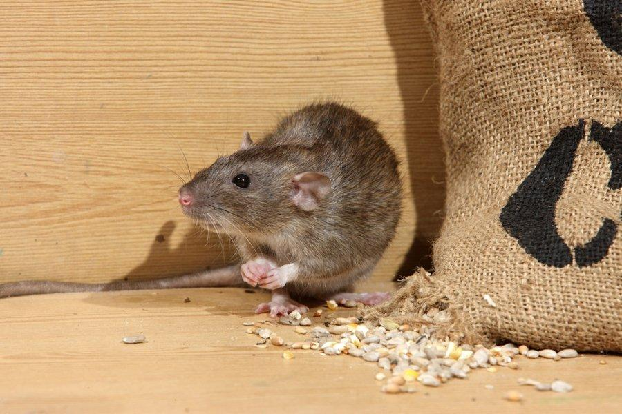 Getting Rid of Wild Rats, The Easiest Way