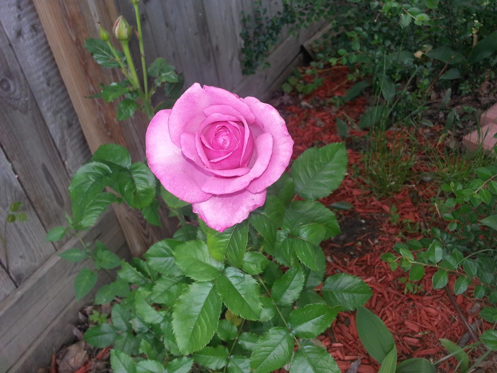 Barbra Streisand hybrid tea rose picture