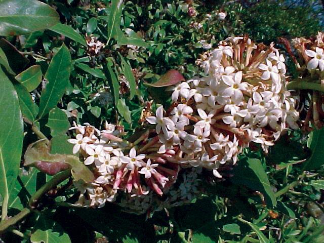 Acokanthera oblongifolia.