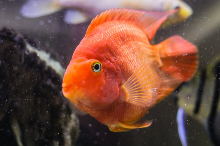 Picture of a parrot fish