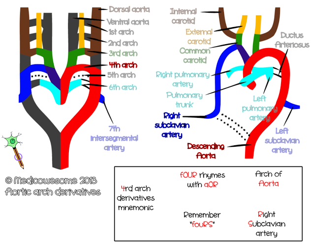 Fourth arch artery - Aortic arch derivatives embryology mnemonic