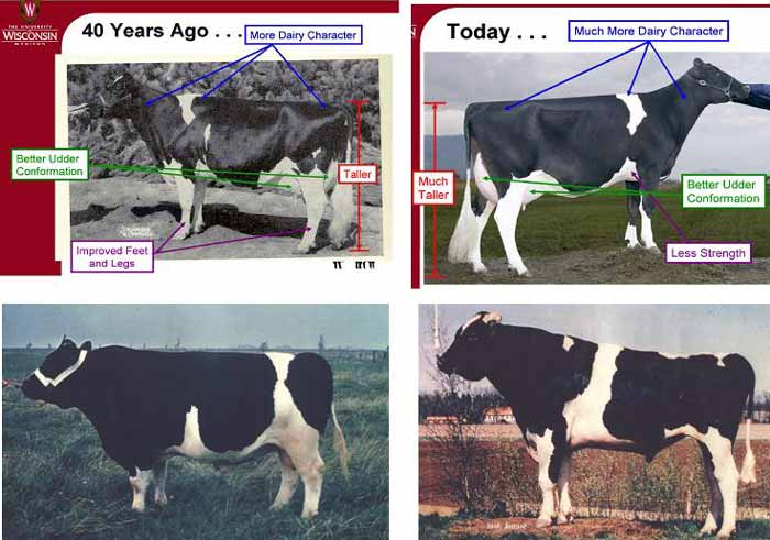 Changes in body conformation in American Holstein cows (upper) and bulls (below) during the past 40 years (Sources: K. Wiegel and B. Lindhé, 2007).
