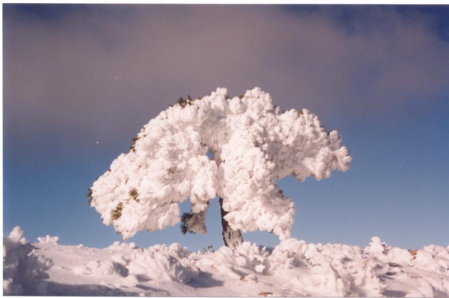 F:\Mis Documentos\TARRAGA\USUARIO\Mis documentos\Mis imágenes\Mis imágenes digitales\Fotos\Revolcadores\El árbol más alto nevado. Revolcadores.jpg