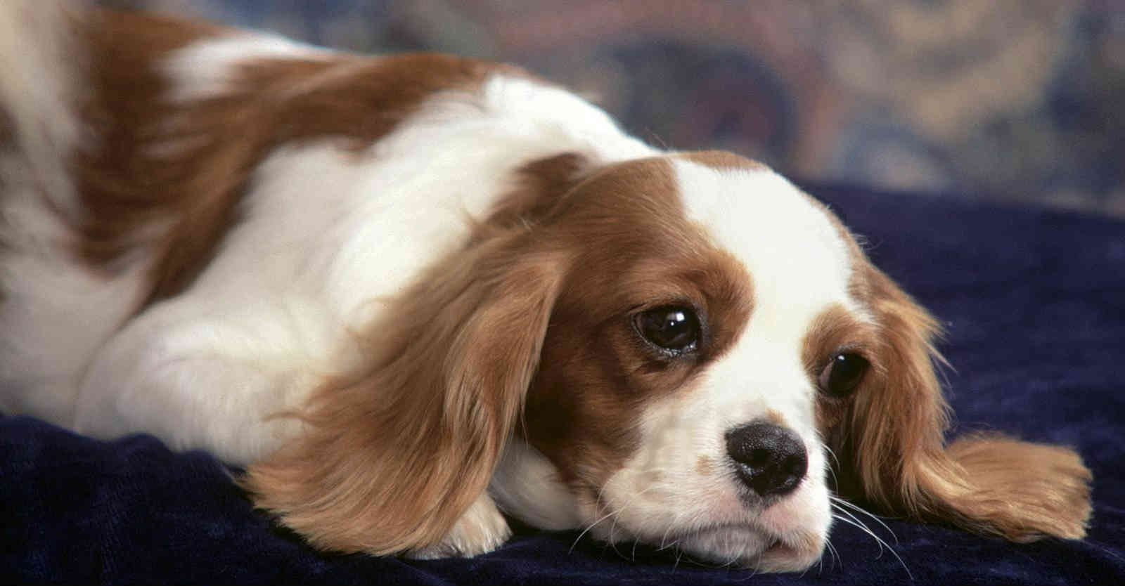 Chó bệnh đường ruột có biểu hiện như thế nào?