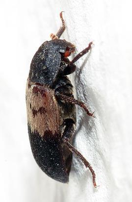 File:Dermestes lardarius - side (aka).jpg