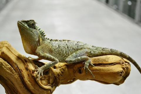 Image result for mountain horned dragon reproduction