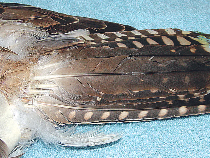 Tail of the falcon in Figs 40.26 and 40.27, showing the new feather in place