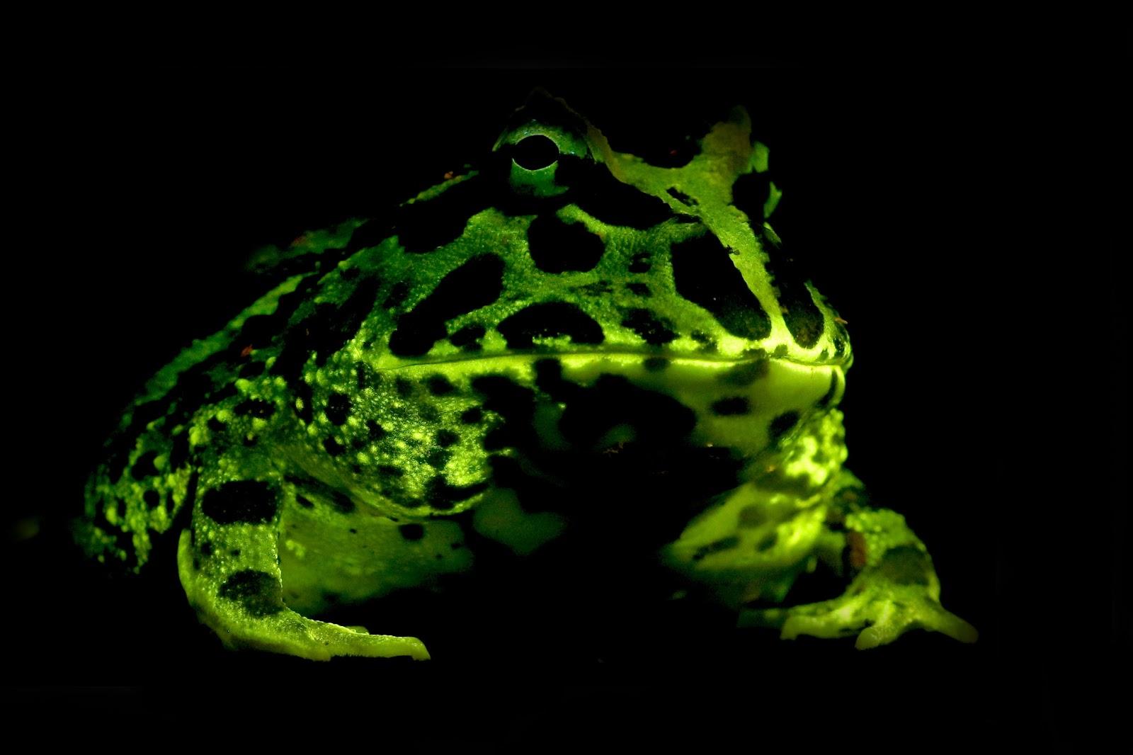 Зеленая биофлуоресценция амфибий, таких как эта лягушка Крансвелла (Ceratophrys cranwelli), может помочь биологам обнаружить новые виды, которые активны в темное время суток