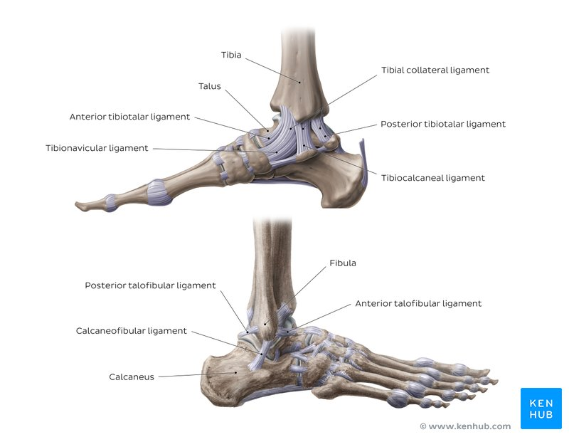 Foot and ankly anatomy