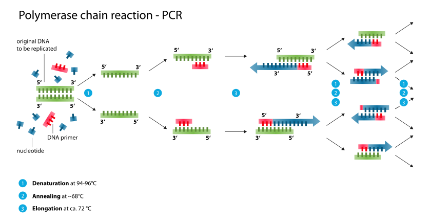 Primer design dna is amplified from the 3pronounced three prime end to the 5pronounced five prime end of the strand being copied the amplification is said to go in solutioingenieria Choice Image
