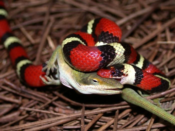 Image result for scarlet kingsnake eating