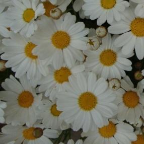 Image result for argyranthemum comet white