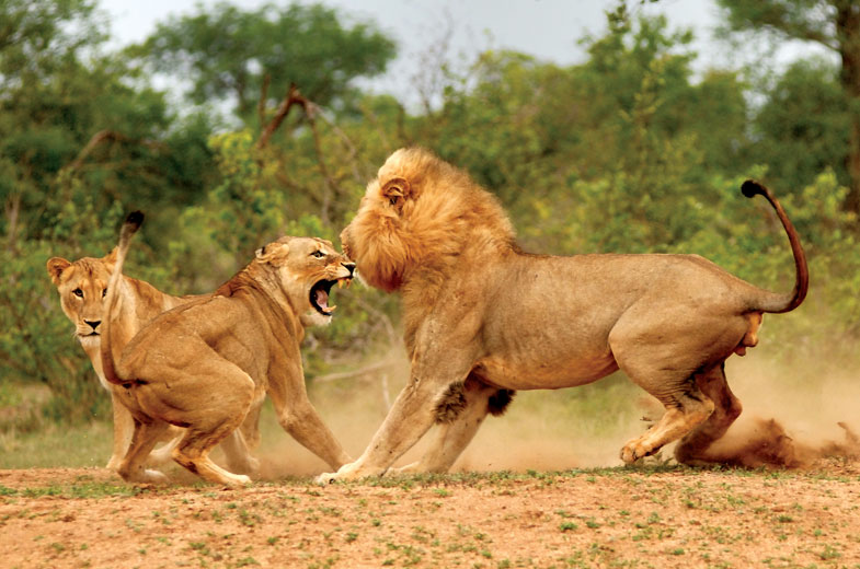 view-lions-in-action-at-kings-camp-in-the-game-reserve.jpg