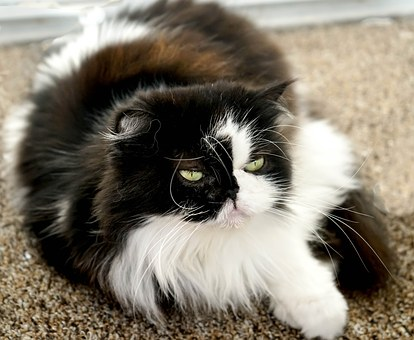 Persian Cats Personality and Behaviour