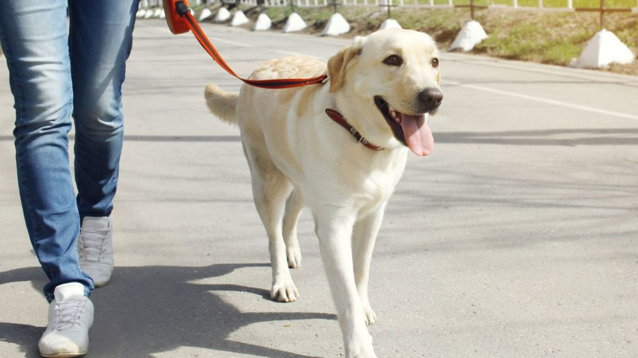 Perro paseando con correa de manera educada