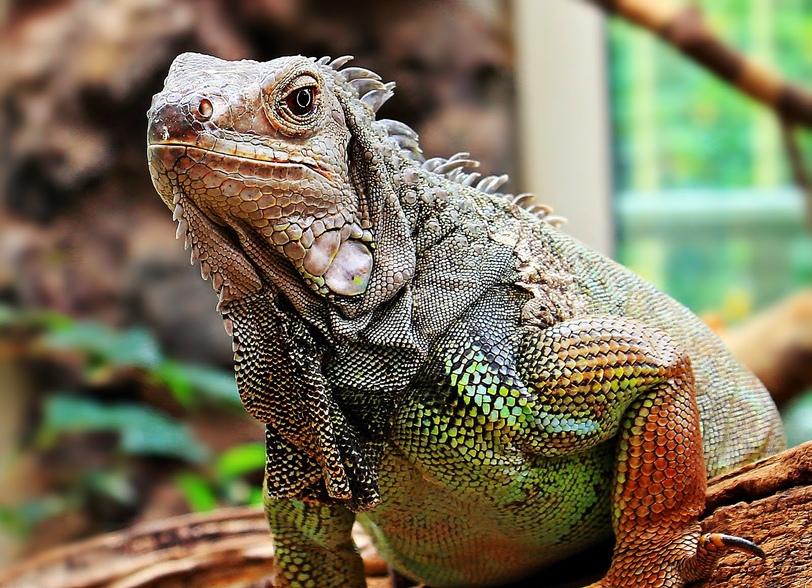 Iguana with head raised