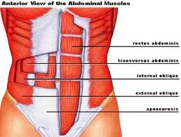 Anterior view of the abdominal muscles