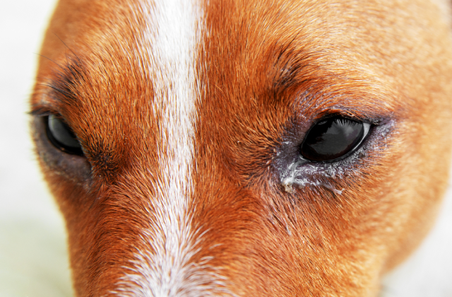 Chảy nhiều ghèn là một trong những dấu hiệu đầu tiên khi chó bị đau mắt