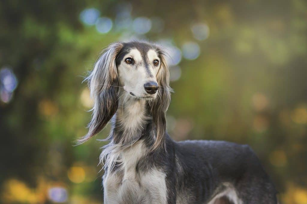 a picture of a saluki standing outside
