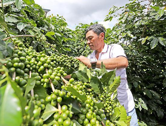 Motherland địa chỉ cung cấp cà phê hạt giá sỉ chất lượng, uy tín