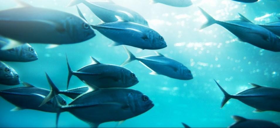 A school of tuna ©piskunov/iStock