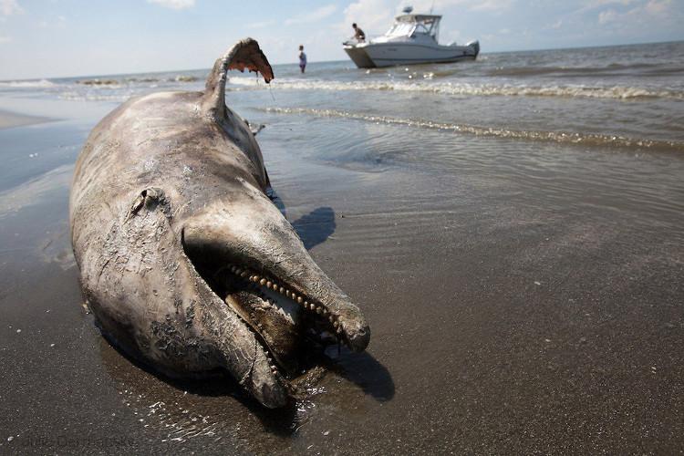 Một con cá heo chết thảm vì dầu loang.