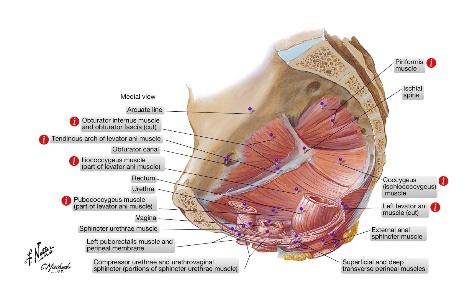 erezione dei muscoli coccigei metodi di trattamento dellerezione prematura