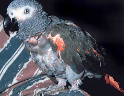 Unusual red-colored feathers in African grey parrots may be linked to a dietary deficiency or circovirus infection