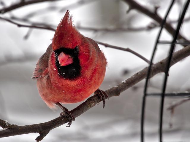 cardinal-1448364_640.jpg