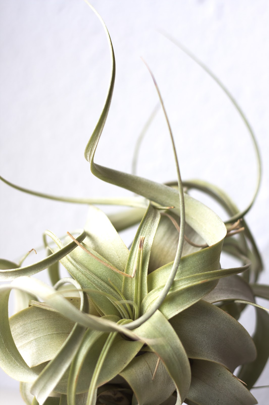 Tillandsia Xerographica air plant varieties