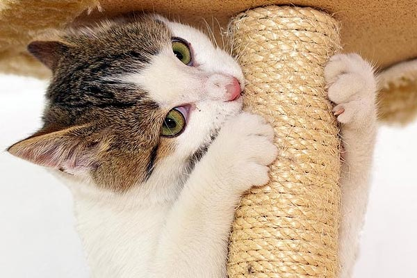cat scratching