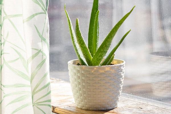 4. ต้นว่านหางจระเข้ Aloe vera