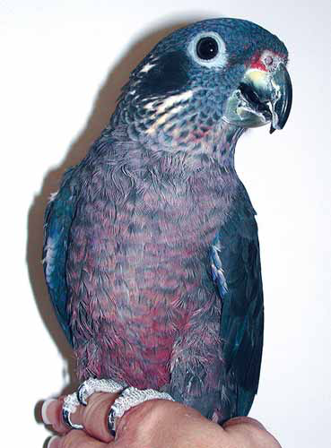 Although infrequently seen in practice, pionus parrots (Pionus spp.) represent ideal pet characteristics: predictability, reserved nature, quiet, tidy, gentle and tolerant
