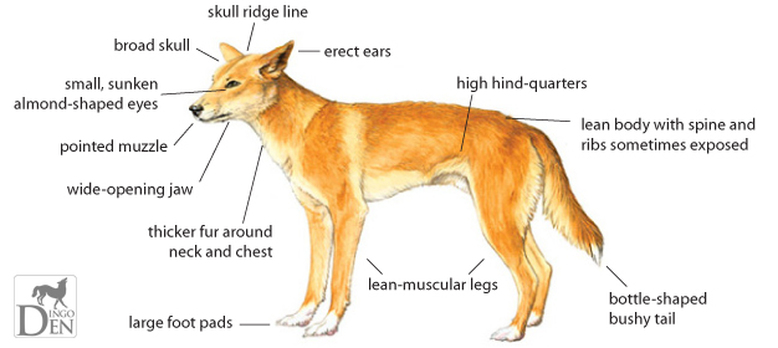A picture telling identification parts of a dingo