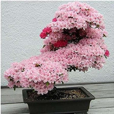Cuidados del Bonsái de Cerezo en flor
