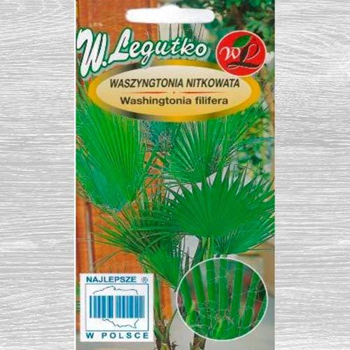 Waszyngtonia  palma obraz 1