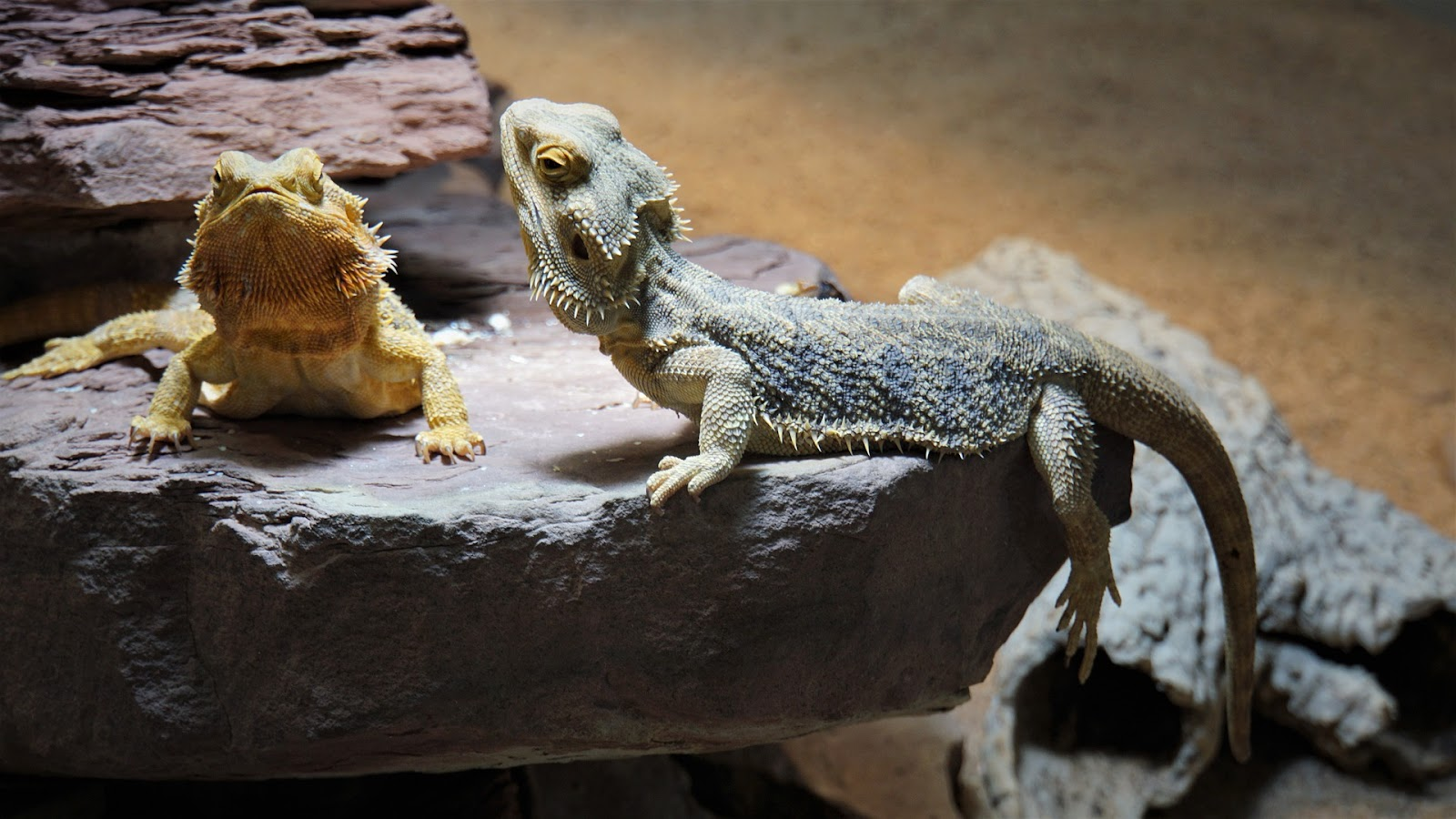 Two bearded dragons on a rock perch