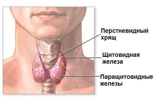 Image result for щитовидная железа