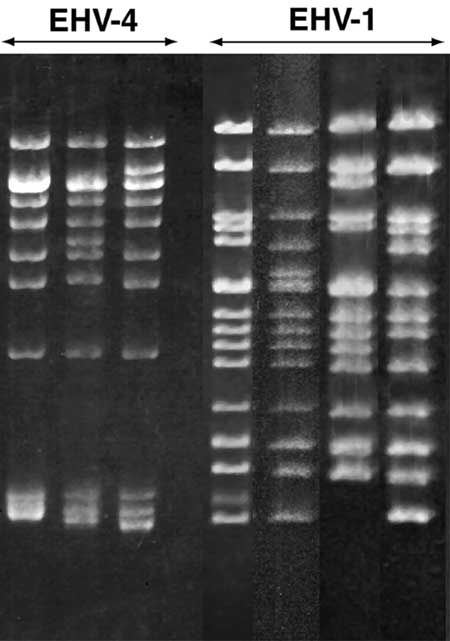 Agarose gel electrophoretic profiles of the DNA fragments generated by BAMHI digestion of the genomic DNA of EHV-1 and EHV-4.