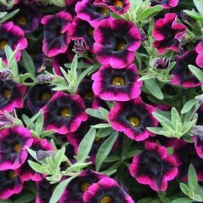 Image result for calibrachoa blackberry punch