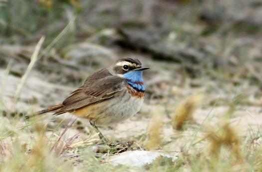 bluethroat pipit
