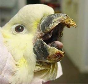 Beak dystrophy