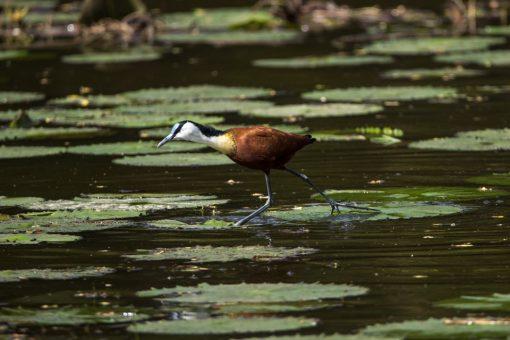 Um pássaro com pernas longas e penas marrons e brancas anda sobre as vitória régias na água.