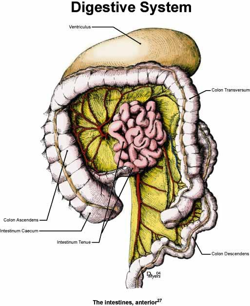 Illustration of the intestines of the rhesus monkey [27].